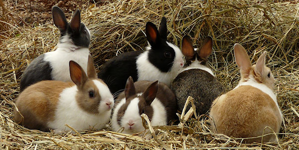 How to Raise a Lop Eared Rabbit As a Pet with Pictures